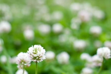 leguminosae: Clover flowers