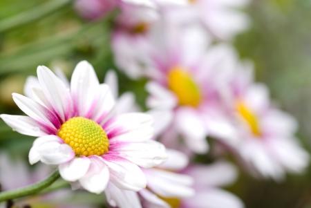 gradation: Chrysanthemum flower gradation of pink