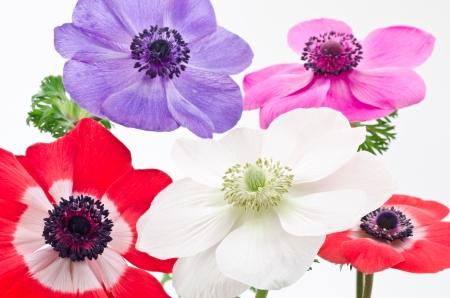 anemone flower: Anemone fiore 5 ruote
