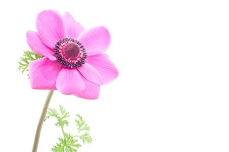 anemone flower: Anemone fiore rosa una ruota