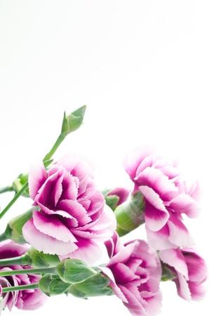 gradation: Bouquet of carnations and purple gradation Stock Photo