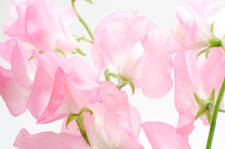 leguminosae: Cut flowers of sweet pea pink