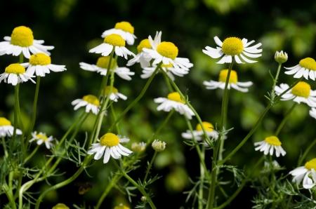 german chamomile: Flower of German chamomile