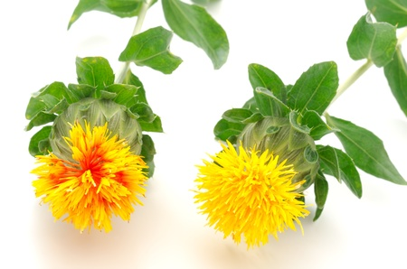 safflower: Flowers of safflower of two face-on
