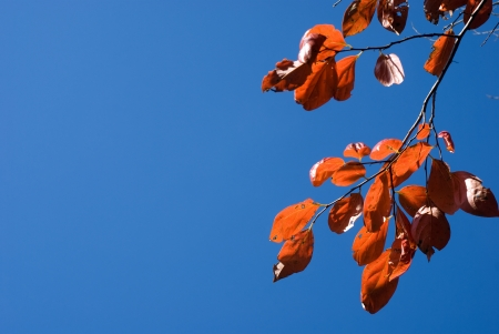 ebenaceae: Blue sky and autumn leaves of Diospyros