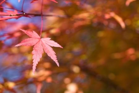 aceraceae: Foliage Irohakaede one Stock Photo