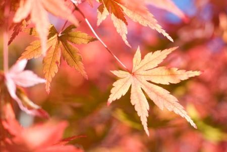 aceraceae: Foliage Irohakaede