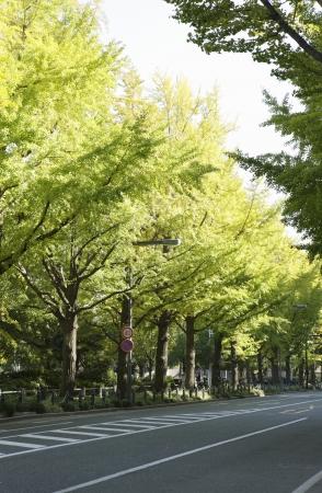 treelined: Ginkgo tree-lined