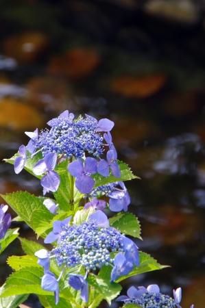 waterside: Hydrangea waterside