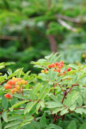aria: Sorbus aria Stock Photo