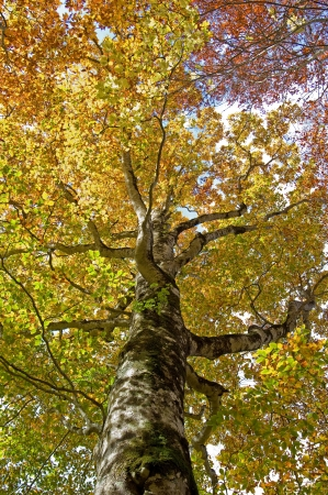 fagaceae: Beech tree Stock Photo