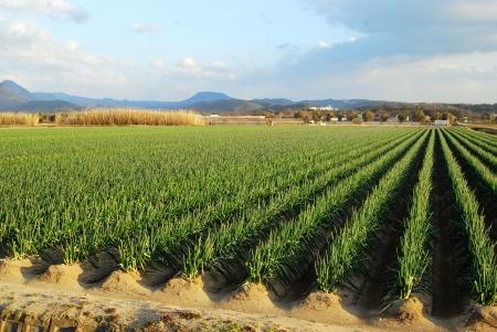 croft: Green onion field