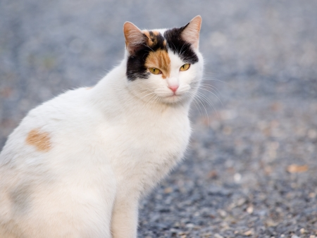 'living organism': Calico cat looking at the camera