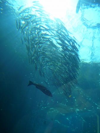 aquarium visit: Sardine
