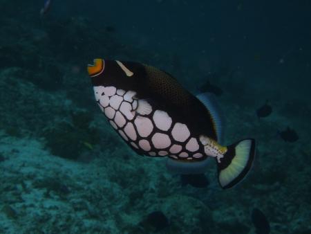 Triggerfish Stock Photo - 23622564