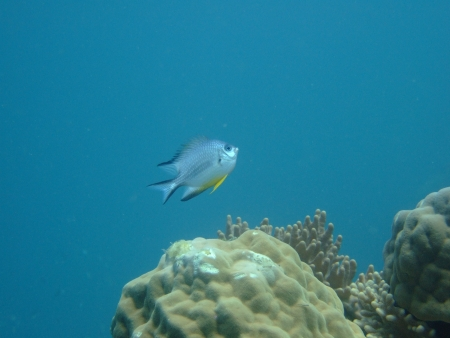 Bat fish photo
