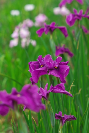 odawara: Purple Flowers iris Stock Photo
