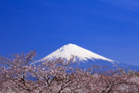 Fuji and cherry blossoms photo