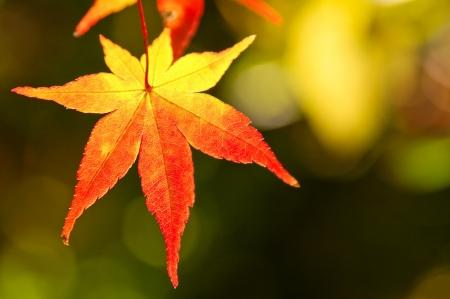 Foliage of Acer palmatum Stock Photo - 23629600