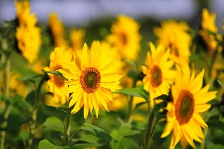 plurality: Sunflower