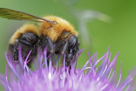 Bear bee and thistle photo