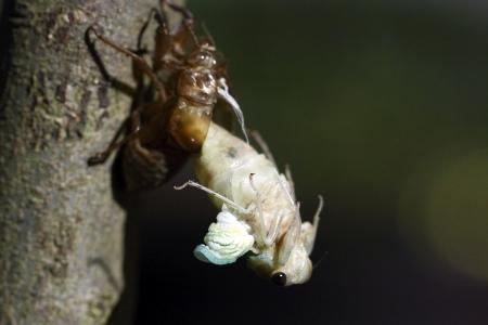 The cicada Full Feather photo