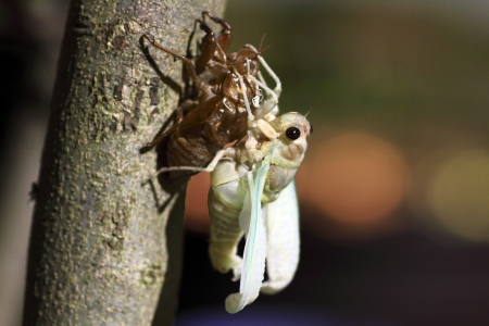 The cicada Full Feather photo