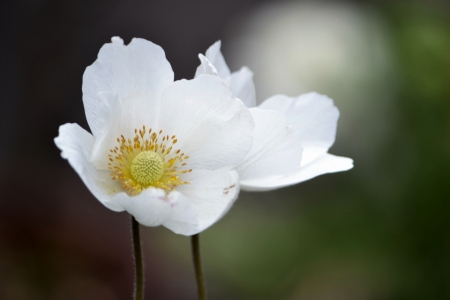 Up of Anemone sylvestris photo