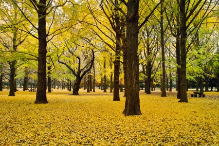 Yellow leaves of ginkgo of Yoyogi Park
