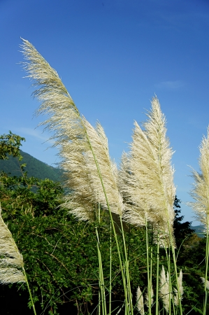 Pampas grass to be blowing in the wind Stock Photo - 23298585
