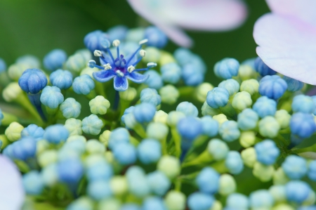 Pistil and stamen to open in the bud of hydrangea photo