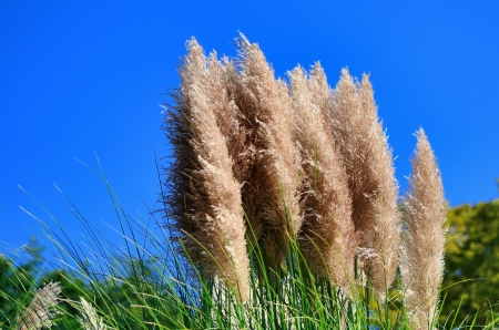 Pampas grass and blue sky Stock Photo - 23299100