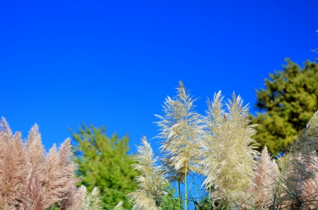 Pampas grass and blue sky Stock Photo - 23299101