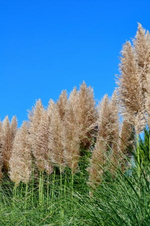 Pampas grass and blue sky Stock Photo - 23299111
