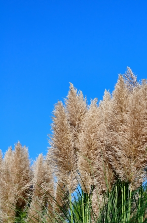 Pampas grass and blue sky Stock Photo - 23299112
