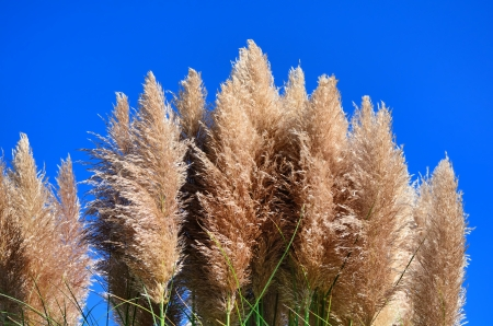 Pampas grass and blue sky Stock Photo - 23299166