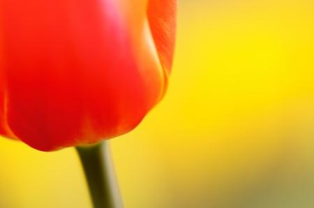 Tulip petals photo