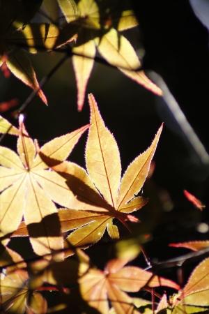 Acer palmatum (vertical) Stock Photo - 23364934