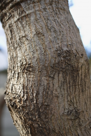 Bark of Acer palmatum (old tree) Stock Photo - 23367037