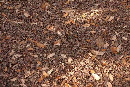 Fallen leaves of Acer palmatum Stock Photo - 23367097