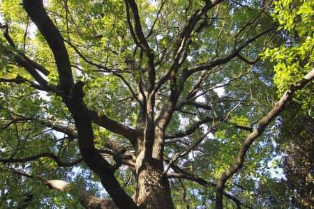 Shape of tree camphor (horizontal)