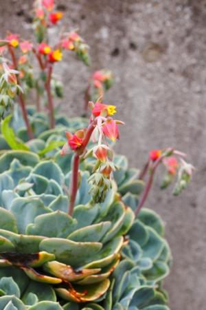Echeveria flower-Rirashina photo