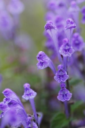 Skullcap (purple)