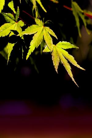 Acer palmatum (green) Stock Photo - 23419463