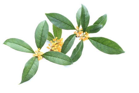 Fragrance of osmanthus photo