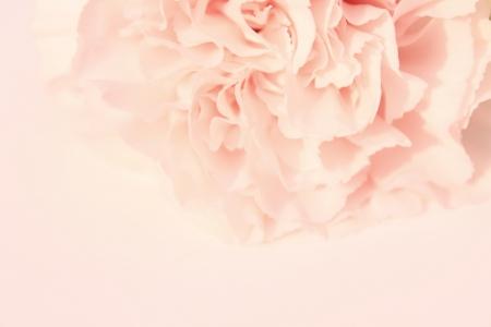 Carnation pink photo
