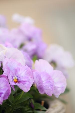 Pansy lilac photo