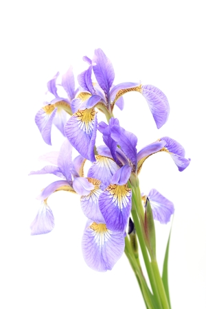 Fleur-de-lis photo