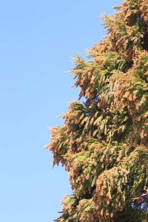 Cedar pollen photo
