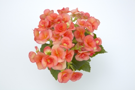 Riegersburg begonia photo